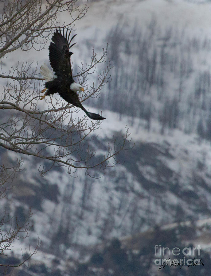 Eagle Photograph - Bald Eagle In Flight-signed-#4014 by J L Woody Wooden
