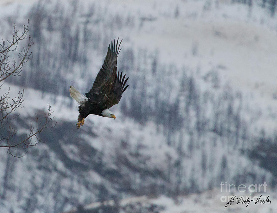 Eagle Photograph - Bald Eagle In Flight-signed-#4016 by J L Woody Wooden