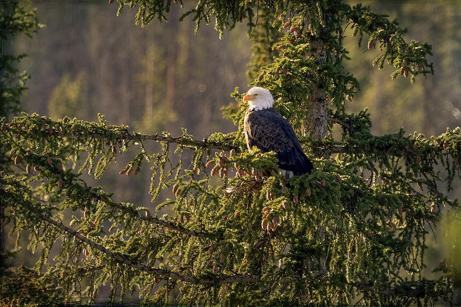 Bald Eagle In Pine by Vicki Stansbury