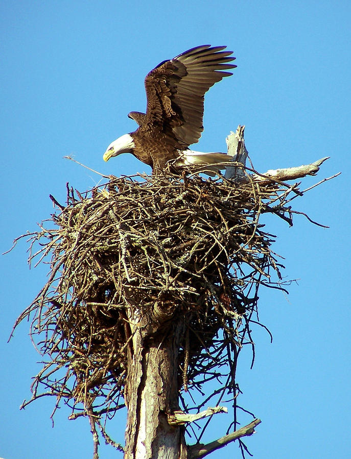 Bald Eagle Landing On Nest Photograph by Terry Adamick