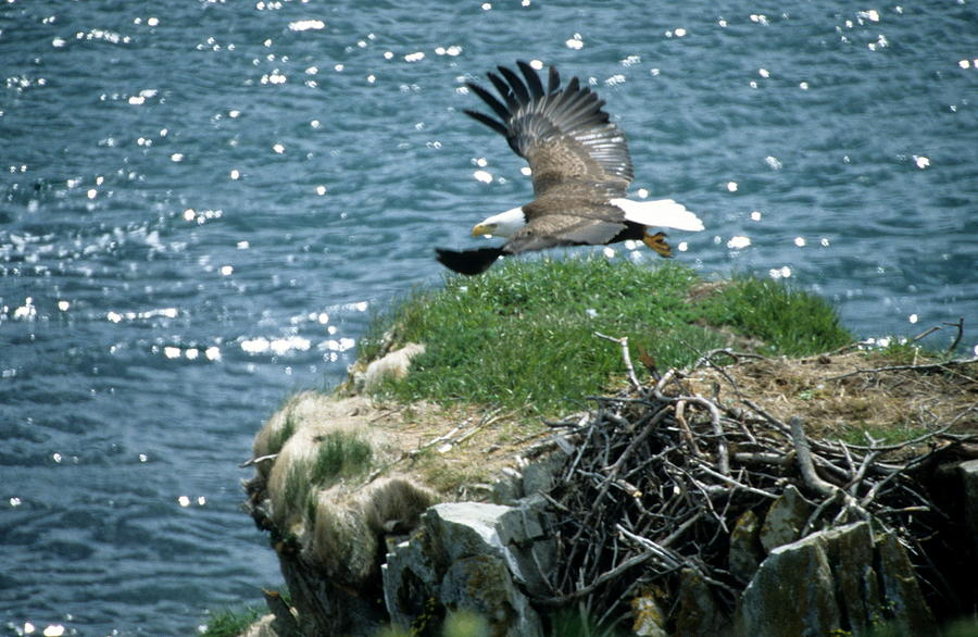 Wildlife Photograph - Bald Eagle Leaves Nest by Larry Allan