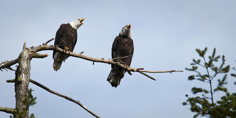 Bald Eagle Photograph - Bald Eagle Music by Chad Davis