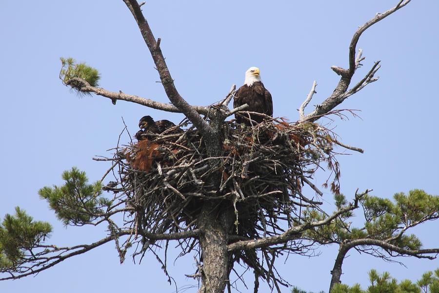 Bald Eagle Nest Photograph by Gary Corbett