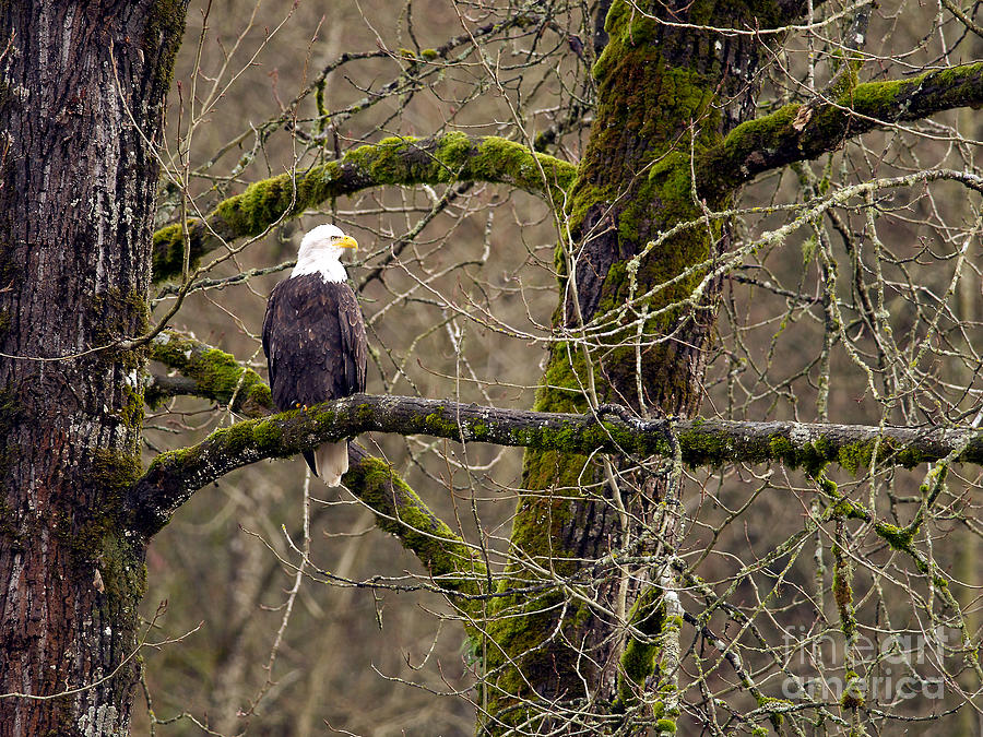 Bald Eagle Photograph - Bald Eagle On Mossy Branch by Sharon Talson