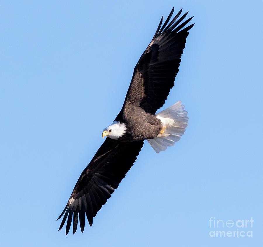 Canon Photograph - Bald Eagle Overhead  by Ricky L Jones
