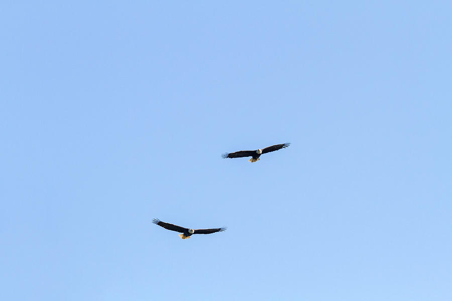 Adult Photograph - Bald Eagle Pair by Michael Russell