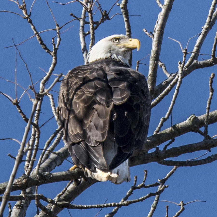 bald eagle perched photograph by william bitman