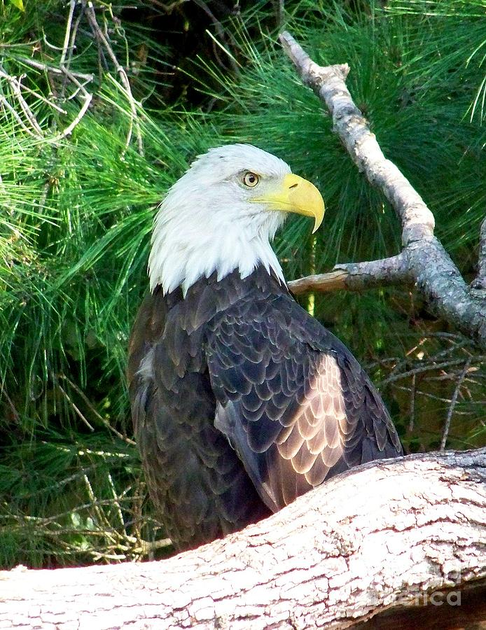 Bald Eagle Photograph - Bald Eagle by Peyton Imes