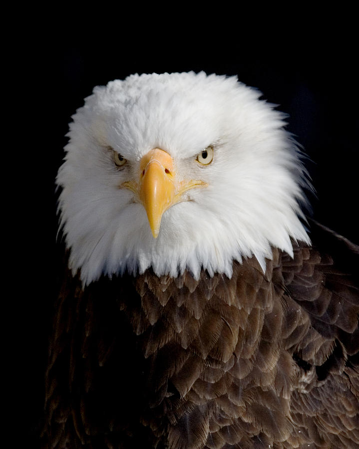 Eagle Photograph - Bald Eagle Portrait by Laurie With