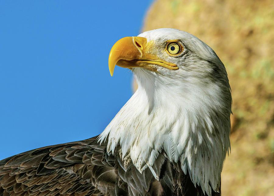 Bald Eagle Photograph - Bald Eagle Profile 4 by Dawn Key