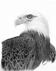 Bald Eagle Drawing - Bald Eagle by Robert Ballard