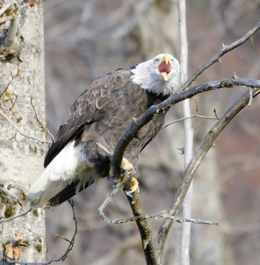 Eagle Photograph - Bald Eagle Screeching by Clarence Alford