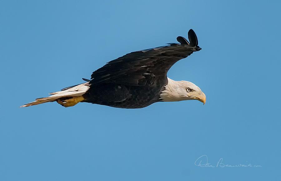 Bald Eagle Soaring 3128 Photograph