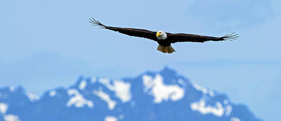 Hood Photograph - Bald Eagle Soars Over Hood Canal by Gary Langley
