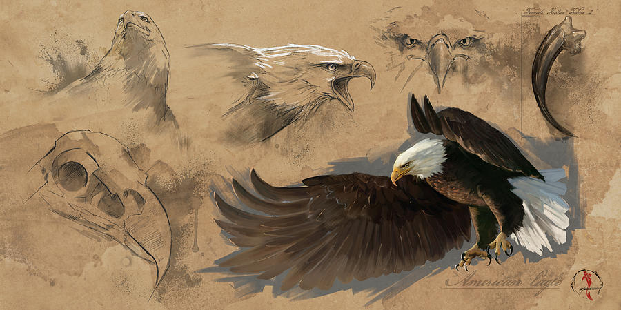 Bald Eagle Study Sheet by Steve Goad
