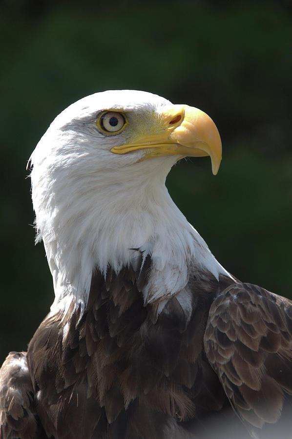 Bald Eagle by Valerie Kirkwood