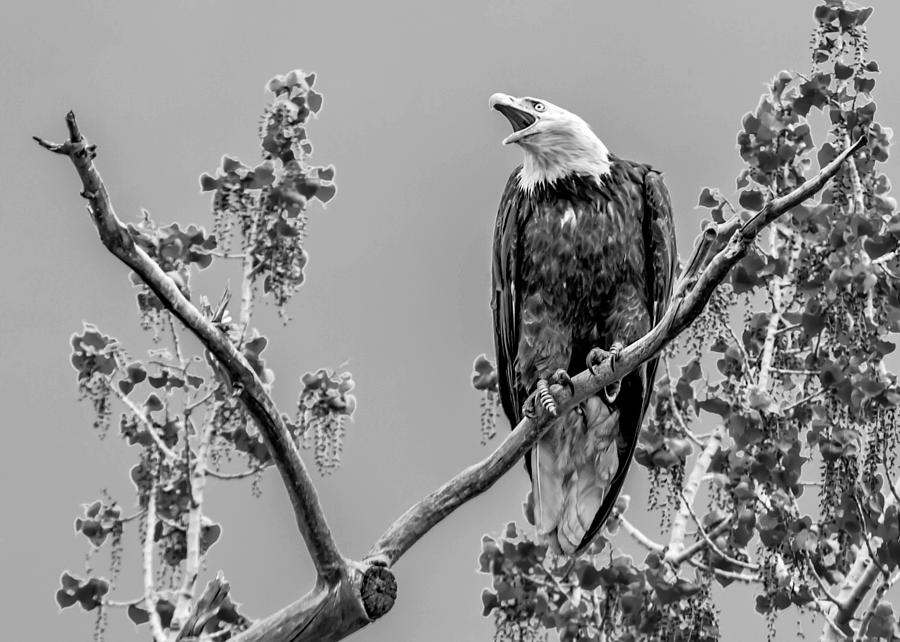 Bald Eagle Photograph - Bald Eagle Warning In Black And White by Dawn Key
