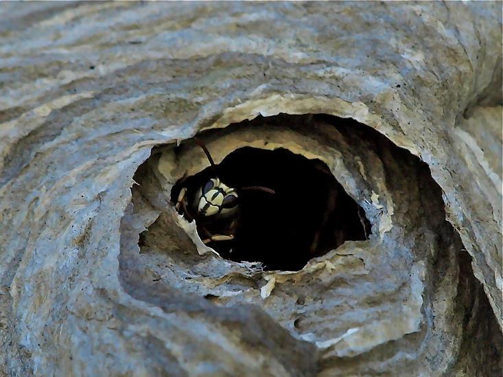 Monarch Photograph - Bald Face Hornet by Peter Gray