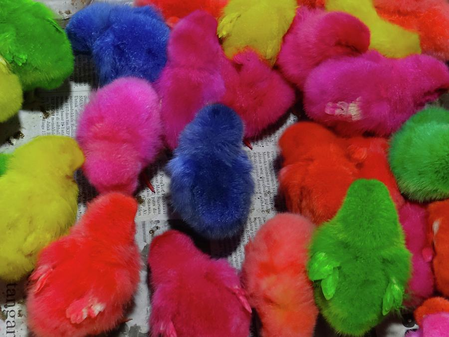 Unschooling Photograph - Bali coloured chicks close-up by Exploramum Exploramum
