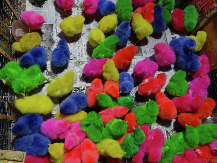 Unschooling Photograph - Bali coloured chicks by Exploramum Exploramum