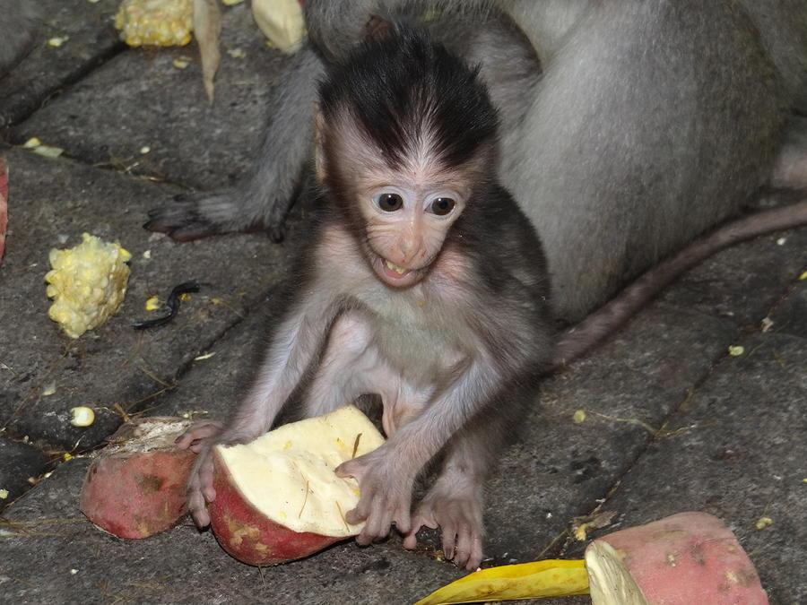 Unschooling Photograph - Balinese Baby Monkey Eating by Exploramum Exploramum