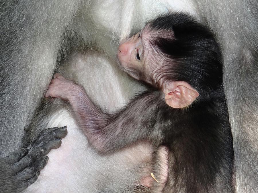 Unschooling Photograph - Balinese Baby Monkey Feeding by Exploramum Exploramum