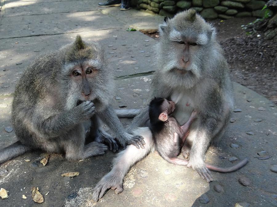 Unschooling Photograph - Balinese Monkey Family by Exploramum Exploramum