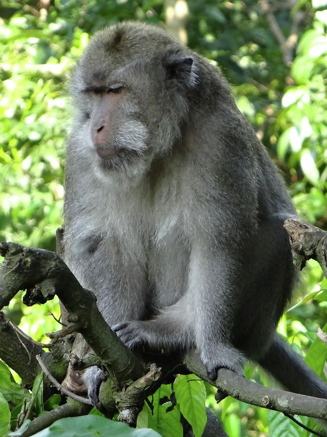 Unschooling Photograph - Balinese monkey in tree by Exploramum Exploramum