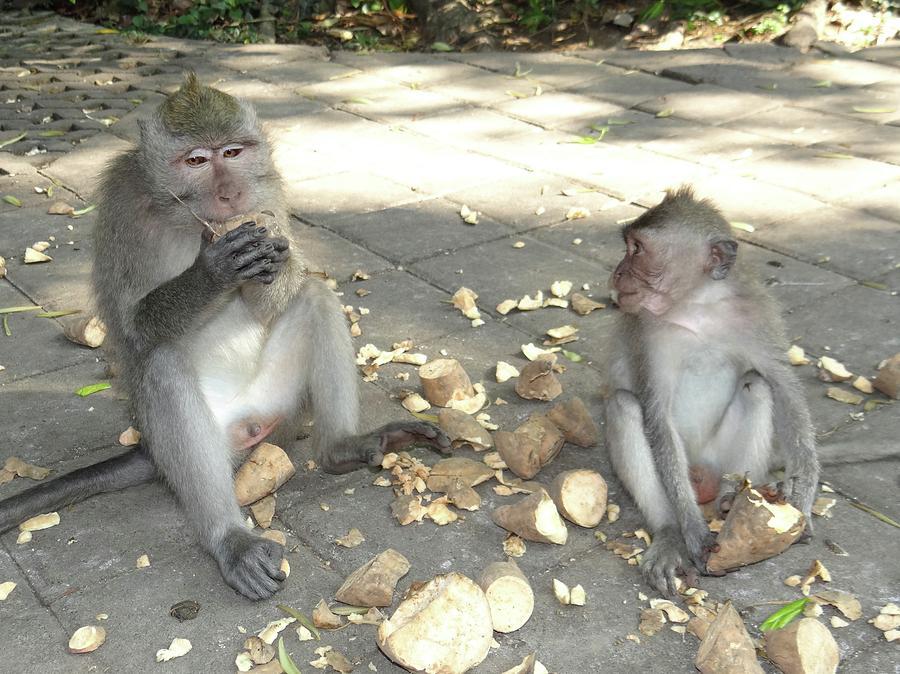 Unschooling Photograph - Balinese monkeys eating by Exploramum Exploramum