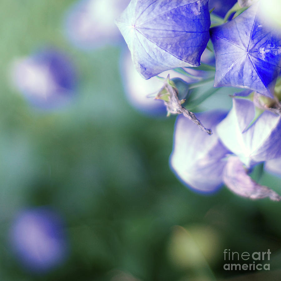 Balloon Flowers Photograph By Naje Foto Nelly Rodriguez