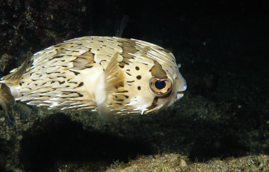 Costa Rica Photograph - Balloonfish Profile Puffer Fish, Diodon by James Forte