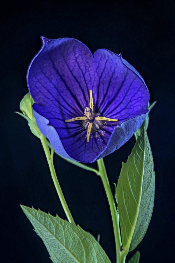 Balloon Photograph - Baloon Flower In Early Morning by Douglas Barnett
