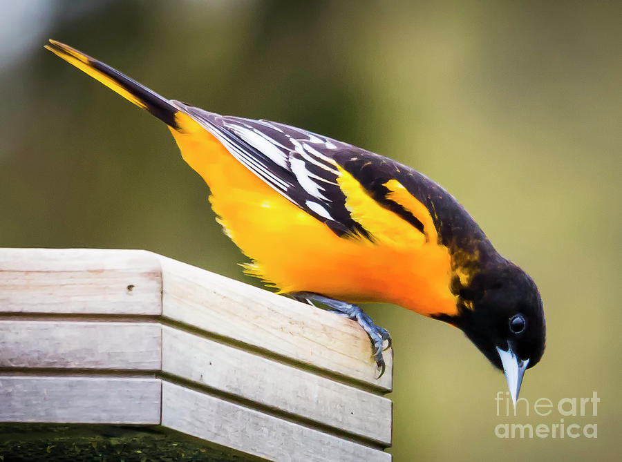 Canon Photograph - Baltimore Oriole About To Jump by Ricky L Jones