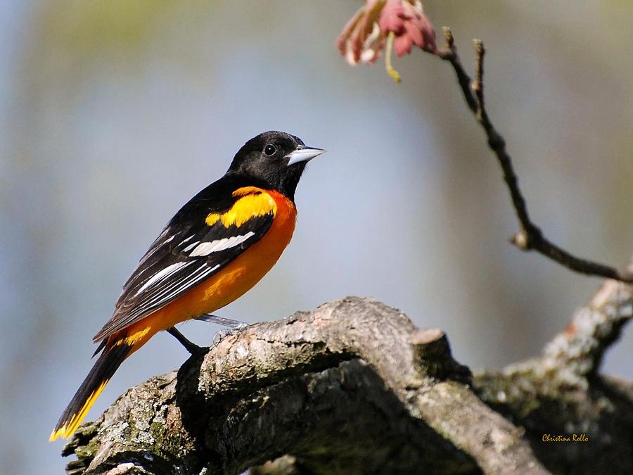 Bird Photograph - Baltimore Oriole by Christina Rollo