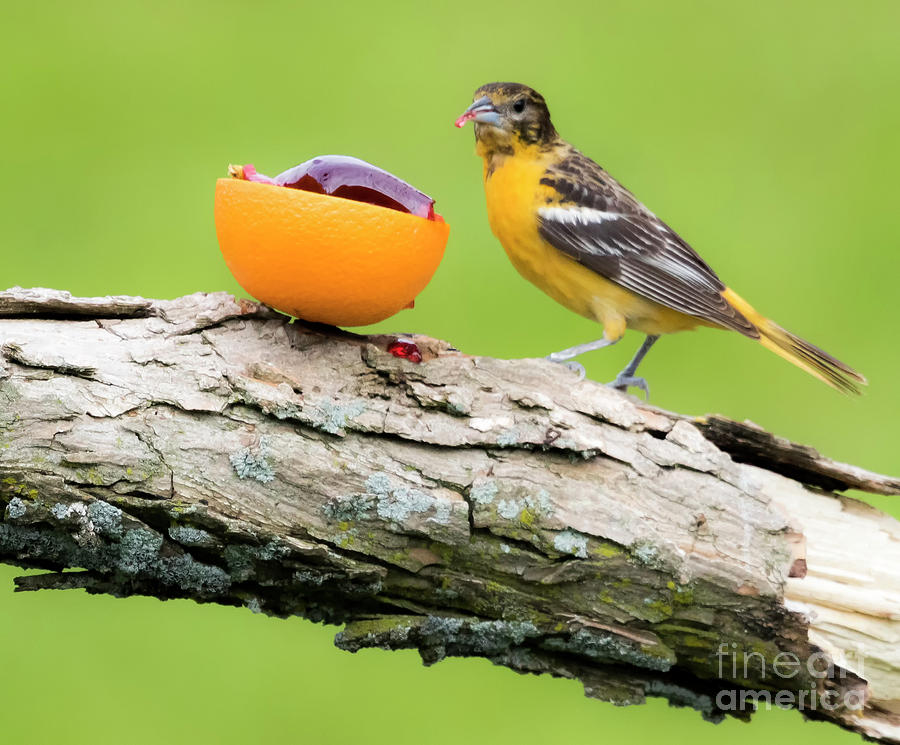 Canon Photograph - Baltimore Oriole Having Breakfast This Morning by Ricky L Jones