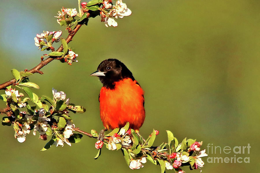 Bird Photograph - Baltimore Oriole by James F Towne