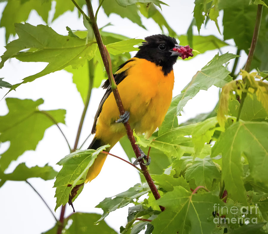 Canon Photograph - Baltimore Oriole With Raspberry  by Ricky L Jones
