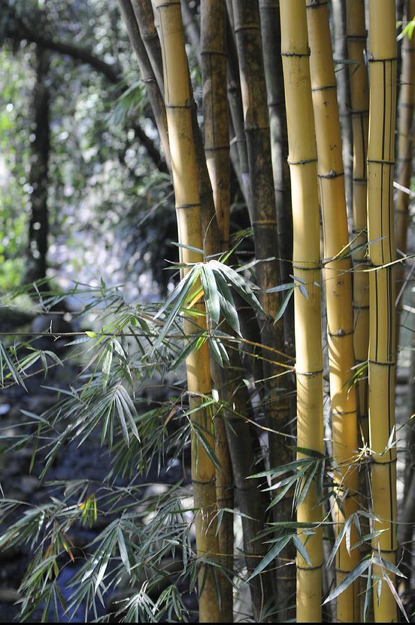 Yellow Photograph - Bamboo by Agus Samudra