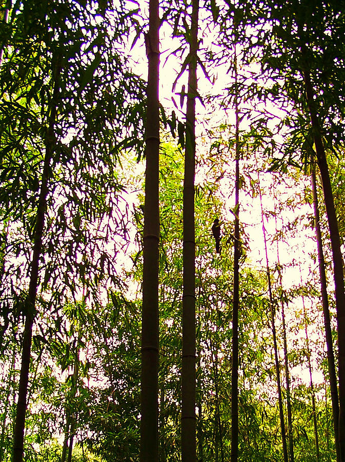 Trees Photograph - Bamboo And The Cuckoo by Michael C Crane