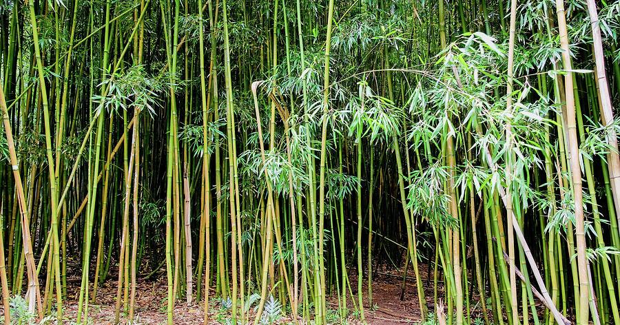Trail Photograph - Bamboo Chimes, Waimoku Falls trail, Hana Maui Hawaii by Michael Bessler