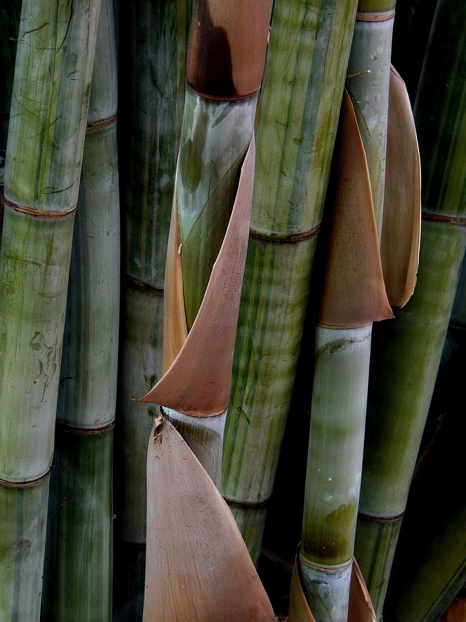 Bamboo Photograph - Bamboo  by Denise Clark
