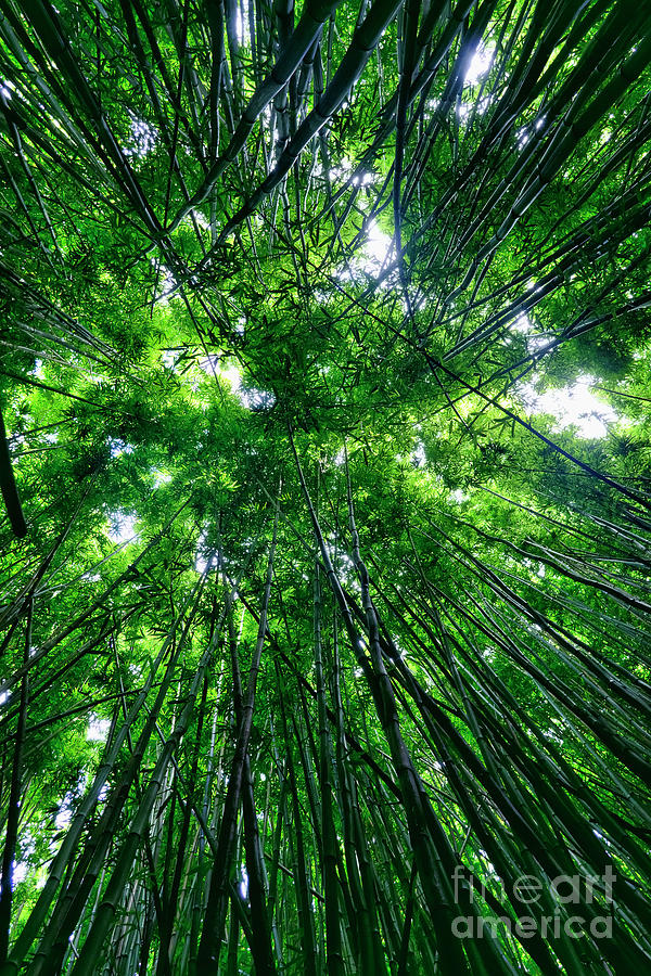 Bamboo Photograph - Bamboo Forest by Eddie Yerkish