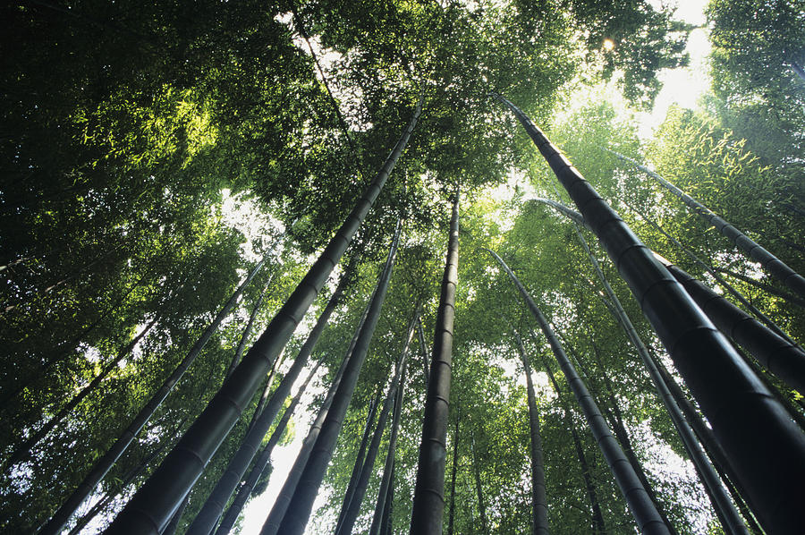 Area Photograph - Bamboo Forest by Mitch Warner - Printscapes