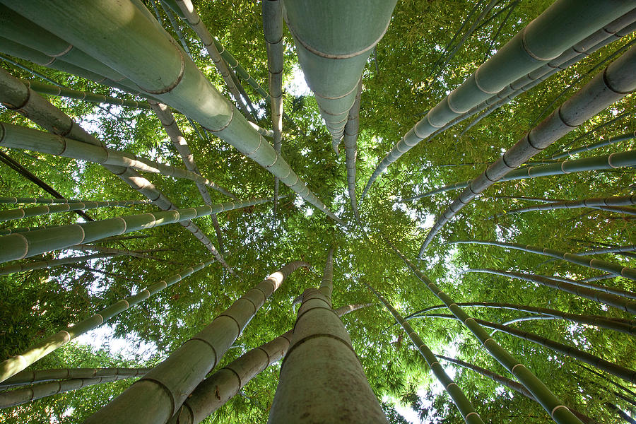 Bamboo Forest Photograph - Bamboo Forest by Tom Clabough