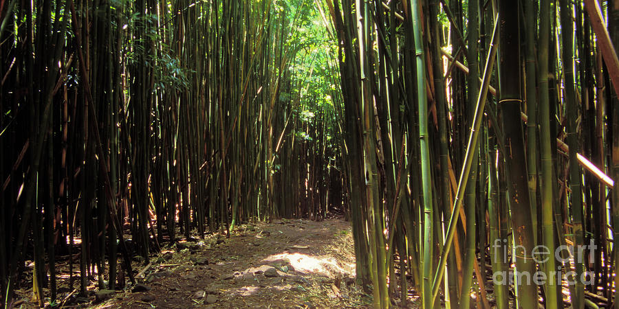 Bamboo Forest Trail by Frank Wicker