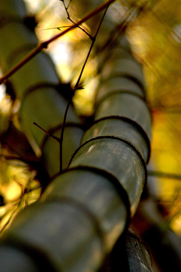 Nature Photograph - Bamboo by Harlan Merhige