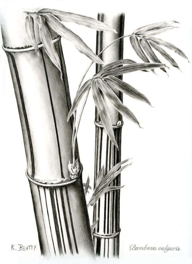 Botanical Illustration Drawing - Bamboo by Karla Beatty