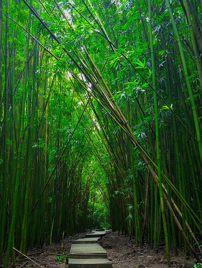 Bamboo Pathway by Nick Knezic