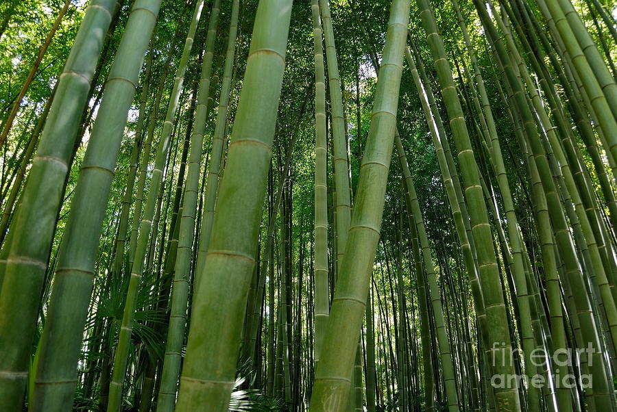 Growth Photograph - Bamboo Plantation by Sami Sarkis