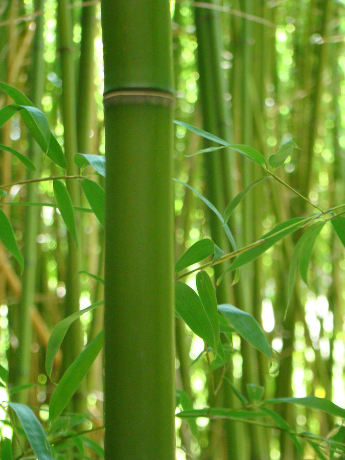 Bamboo Photograph - Bamboo by Rhianna Wurman